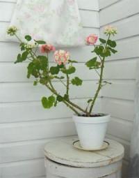 """Pelargonie """"Appleblossom Rosebud"""""""